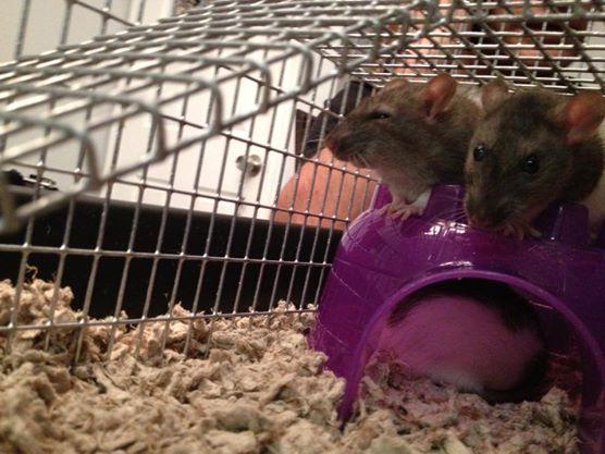 3 rats igloo
