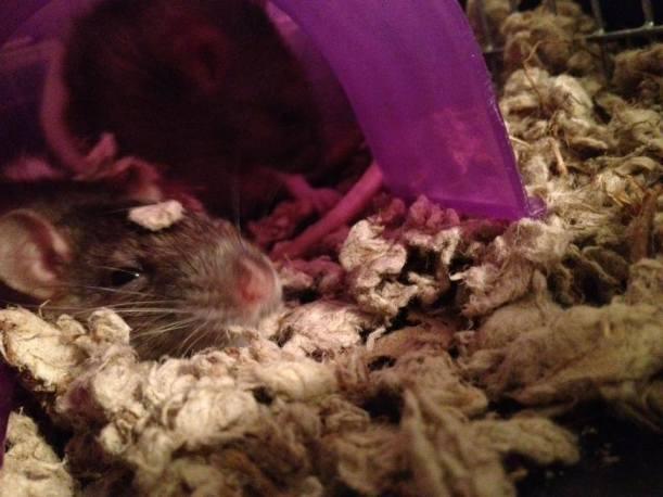 rats 3
