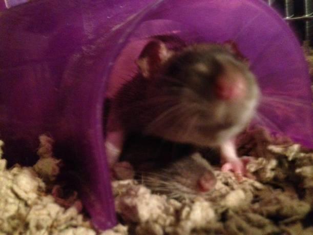 rats 8